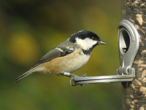 A coal tit at a feeder