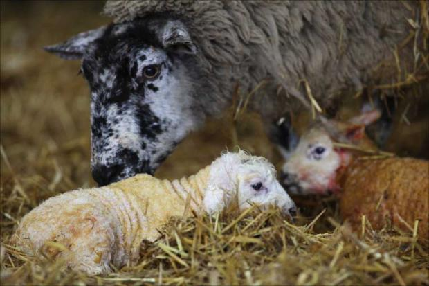 Sparsholt Lambing Weekend takes place on 26 and 27 January.
