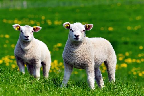 Lambs spring into weekend