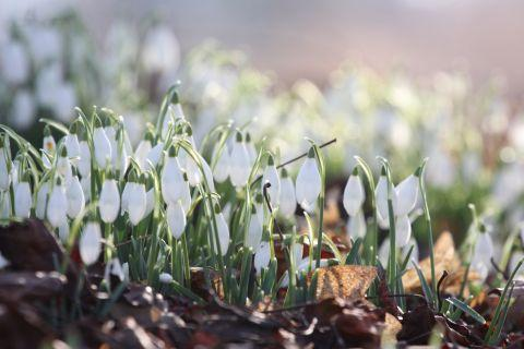 Snowdrops are some of the flowers on offer at the Houghton Lodge gardens
